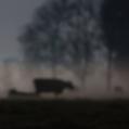 Koeien in maanlicht bij Stitswerd