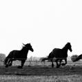 Friese paarden in Groninger  land